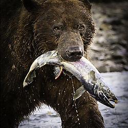 bearwithsalmon-2.jpg