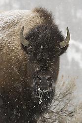 bison016pwrpt.jpg