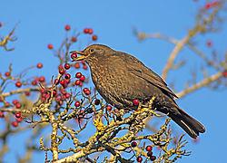 blackbird51_1_23.jpg