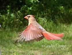 cardinalflyinglogo.jpg