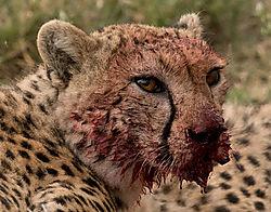 cheetah-a1.jpg
