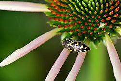 dzinn-Woodborer-on-Flower.jpg