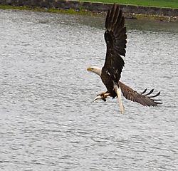 eagle33.jpg