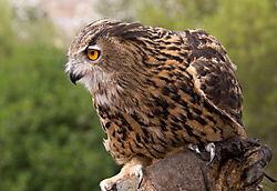 focus_of_owl.jpg