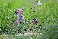 fox_kit_4100_web.jpg