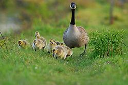 goose1-11.jpg
