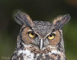 great-horned-owl-1.jpg