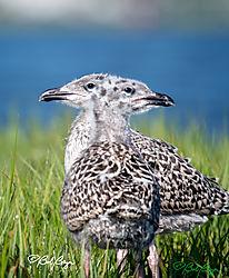 gull-chicks-1-2-headed.jpg