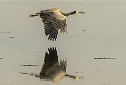 hERON_WINGS_DOWN-2124_-_Copy-Edit.jpg