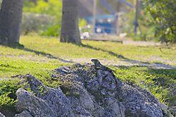 iguana7.jpg