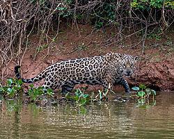 jaguar_hunting.jpg