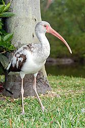 juvenile_white_ibis_1.jpg
