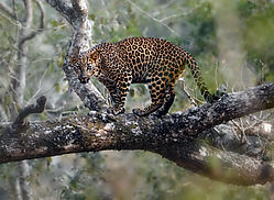 leopard-cub-on-the-tree_Layer-1---Copy.jpg