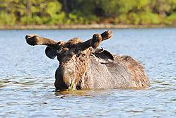moose4-1.jpg