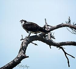 osprey-14.jpg
