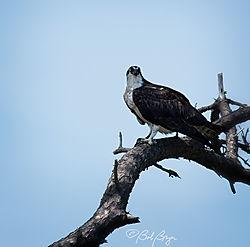 osprey-4.jpg