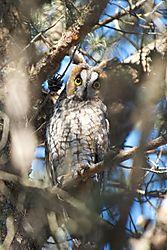 pe-owl1.jpg