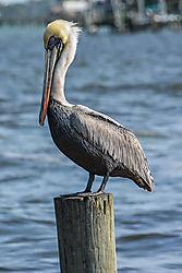 pelicanmalepiiling2_1_of_1_.jpg
