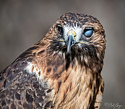 red-tailed-hawk-3.jpg