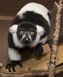 ruffled_lemur.jpg