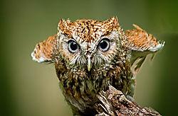 scretch-owl_small.jpg