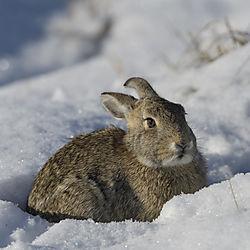 snow_bunny.jpg