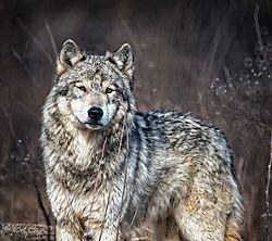 wolf-2_copy.jpg