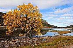 Autumn_Tree_in_Norway.jpg