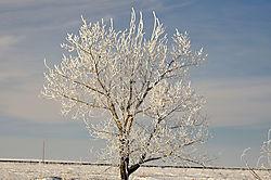 DSC_3333_B_tree_hoar_frost.jpg