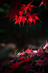 Fall_Maple03.jpg