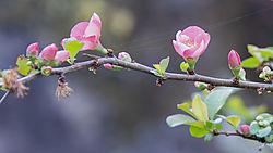 Flowering_Quince_210412_4723.jpg
