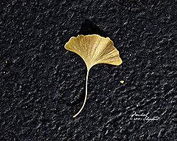 GinkoLeafSingle_MDS0203.jpg