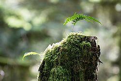 JHW_2544-moss-tree-stump-fern_019.JPG