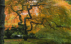 Japanese_Garden_Japanese_Maple8_161023_1_of_1_.jpg