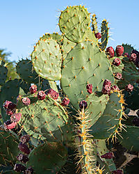 Prickly_Pears_Autumn-2019_1_of_1_.jpg