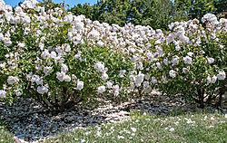 San_Jose_Municipal_Rose_Garden_0023.jpg