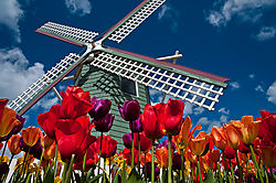 Sky_and_Tulips41.jpg