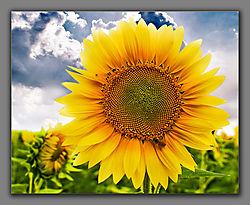 Sun-Flower1.jpg