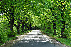 Trees_Lining_The_Road_copy.jpg