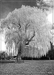 Willow_Tree_Lorne_Park.jpg