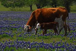 bluebonnet_grazing1.jpg