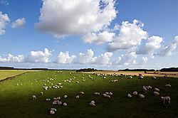 sheep_and_white_clouds.jpg