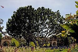 tree_in_balboa_park_copy.jpg