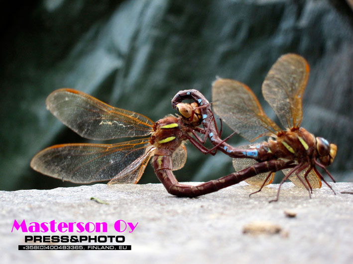 Dragonfly_penetration_1506