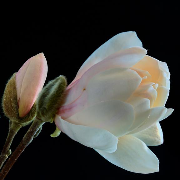 Magnolia_Layers