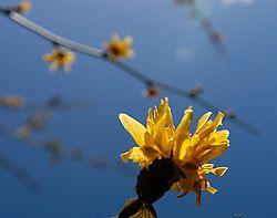 20-04-2013-Kerria-Japonica-klein.jpg