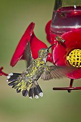 20170813_Hummingbirds_00.jpg