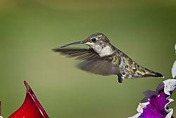 20170813_Hummingbirds_02.jpg