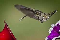 20170813_Hummingbirds_03.jpg