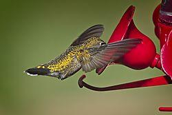 20170813_Hummingbirds_04.jpg